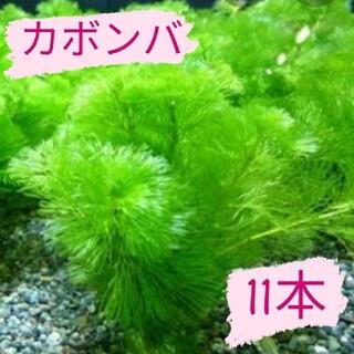 【好評につき限定販売終了】カボンバ11本(アクアリウム)