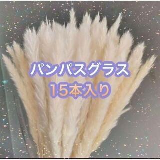 【大人気】パンパスグラス オフホワイト 15本入 約50センチ ドライフラワー(ドライフラワー)