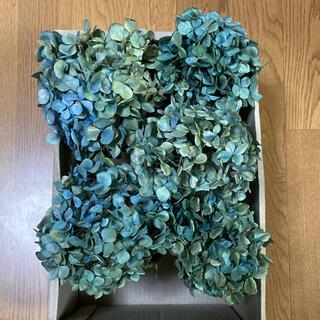アジサイ ドライフラワー 青緑〜緑青紫 茎有5(ドライフラワー)