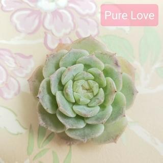 ◆Pure Love◆ 韓国苗 エケベリア 多肉植物