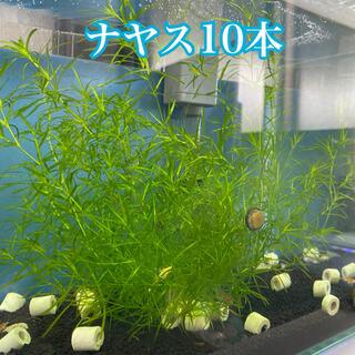 ナヤス 水草 完全無農薬 10本(アクアリウム)