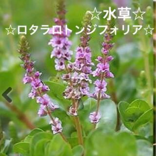 5☆メダカと一緒に☆よく増える水草〜☆ロタラロトンジフォリア❣️(アクアリウム)