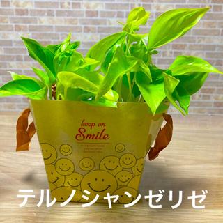 観葉植物 テルノシャンゼリゼ 苗