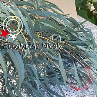 Eucalyptus Nicoly  ユーカリ ニコリー 細葉 ドライフラワー