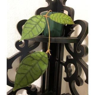 ホヤ カリストフィラ フィンレンソニー 観葉植物
