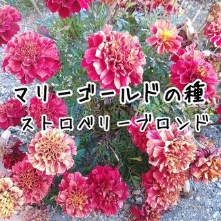 マリーゴールド 種 ストロベリーブロンド&ハーレクイン(その他)