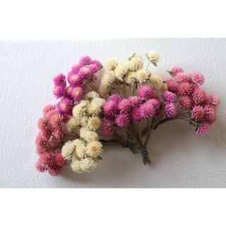 千日紅4色 120本★白&ピンク(短い茎付き)(ドライフラワー)
