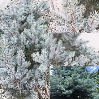 本日切り立て❗️無農薬シルバー銀青色の葉 希少プンゲンストウヒ ホプシー切り枝(ドライフラワー)
