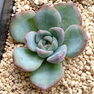 多肉植物 アマビレ 韓国苗