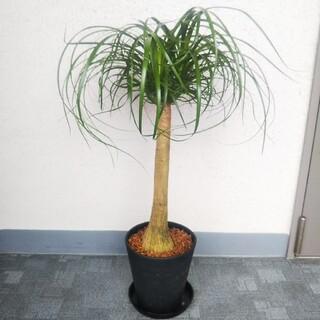 ノリナポニーテール*トックリラン❗️高級セラアート鉢受皿付❗️樹形綺麗観葉植物