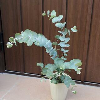 大きめ♪ユーカリシネレア 4号ポット苗 観葉植物 シンボルツリー♪