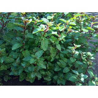 今が植え時‼️銀の紫陽花が作った香るミントの鉢植え(プランター)