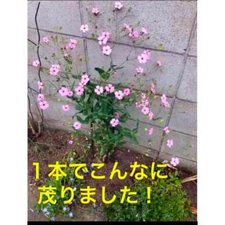 3苗 サポナリアバッカリア ピンク ポット苗(プランター)