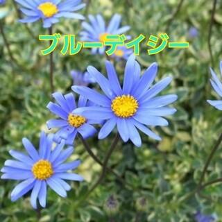 『ブルーデイジー・アズールブルー』3号ポット苗 抜き苗 1ポット分 草花