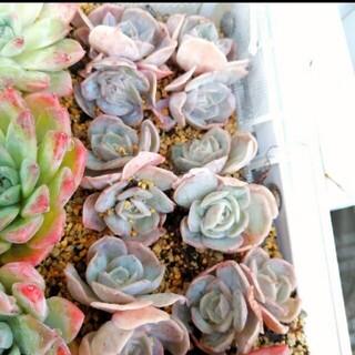 再々入荷(*´ω`*)韓国苗 エケベリア ブルーサプライズ 双頭 多肉植物(その他)