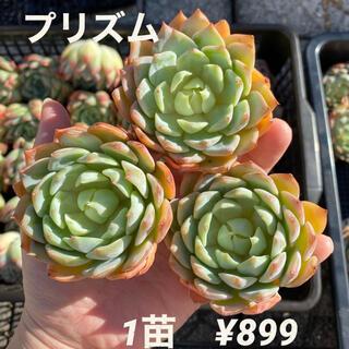 【大特価】エケベリア プリズム 多肉植物 韓国苗 カット苗