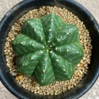 ユーフォルビア オベサ × バリダ ① 苗のみ発送(その他)