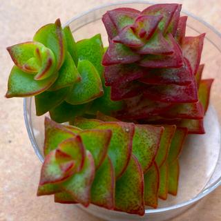 十字星♡3カット 多肉植物(その他)