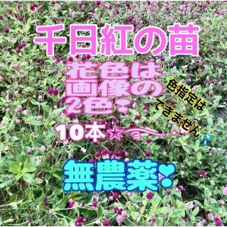 農薬不使用 千日紅の苗10本…花色不明。(その他)