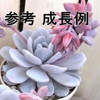 ラウイ 小苗 1個 韓国苗 エケベリア(その他)