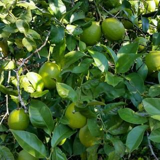 ペコ様専用国産無農薬 グリーンレモン 生姜 各1kg(フルーツ)