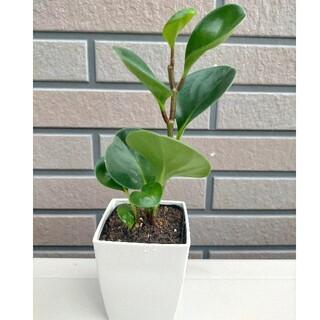 観葉植物 ペペロミア 抜き苗 グリーン おまけあり
