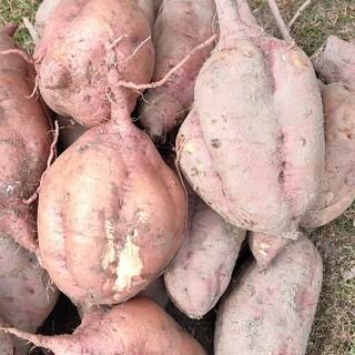 サツマイモ 安納芋 2キロ