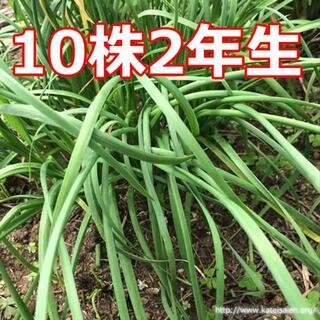 ■大葉ニラ苗 2年生 韮苗 無農薬 有機栽培10株にら苗 野菜苗☆追加可能♪(その他)