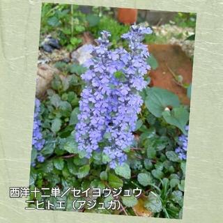 フラワー(flower)の西洋十二単/セイヨウジュウニヒトエ(アジュガ)《寄せ植え・グランドカバー》(プランター)