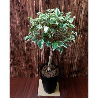 ベンジャミン スターライト 観葉植物 鉢植え付き(プランター)