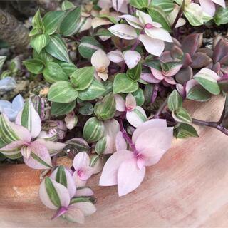 ② カリシア カット苗 30本 多肉植物 観葉植物(プランター)