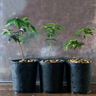 ジャボチカバ苗 (四季なり種) 実生苗 2本セット オマケ1本(プランター)
