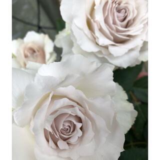 1 バラ ばら 薔薇 苗 ベージュ 白(その他)