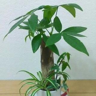 金運UPのパキラ寄植え in CoffeeCup(その他)