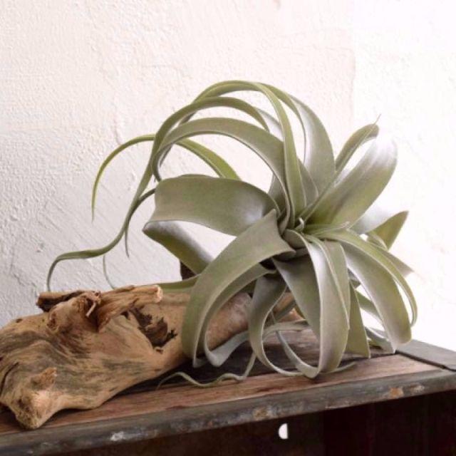 【フェイクグリーン】アートプランツ キセログラフィカ GR ハンドメイドのフラワー/ガーデン(その他)の商品写真