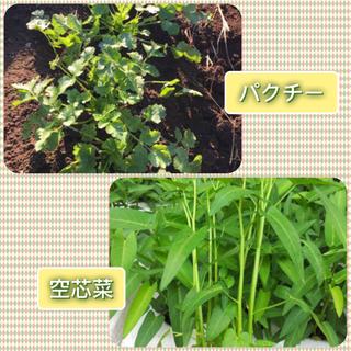 パクチーと空芯菜の種 各10g ★ 人気ですね(╹◡╹)(野菜)