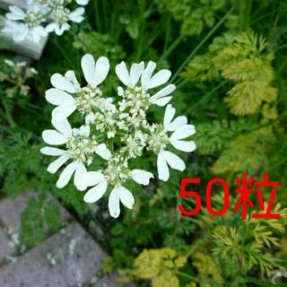 レースフラワー 白 オルレア♡ 種子 種 植物 ガーデニング(その他)