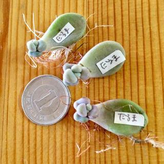 多肉植物だるま秋麗❤️赤ちゃん(その他)