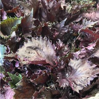 赤紫蘇 赤しそ 葉 500g しそ(漬物)